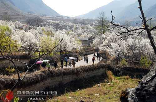 游人在彝寨畅游观赏梨花